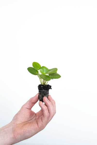 Pilea Peperomioides for sale to create an Urban Jungle at home