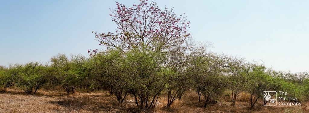 Jurema: one species, many properties, benefits, and uses